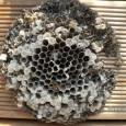 Für alle die immer schon mal wissen wollten, wie ein Wespennest von innen aussieht: Dieses Nest hing in einem Gartenschuppen und der Besitzer hat sich nicht mehr hinein getraut. Nachdem […]