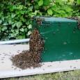Liebe Wilkenrother und Wilkenrotherinnen, keine Angst, wenn sich ein Bienenschwarm im Garten niederlässt! Es sieht schon sehr imposant aus, wenn sich ein paar tausend Bienen ein neues Zuhause suchen. Jedoch […]